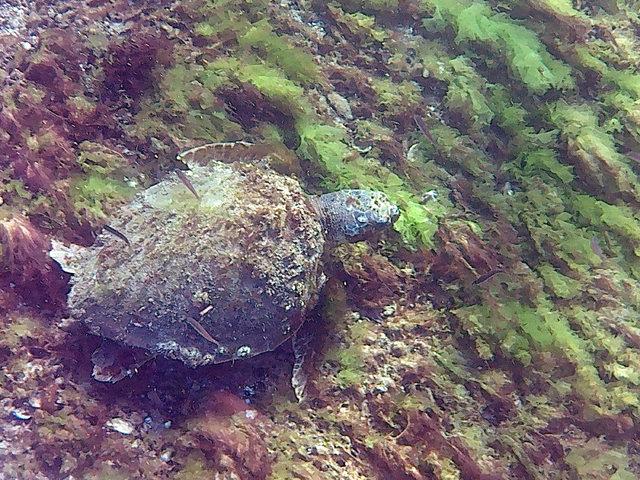 canakkale-bogazinda-deniz-kaplumbagasi-goruntulendi_5300_dhaphoto2