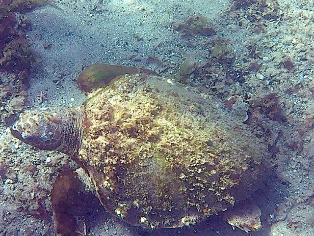 canakkale-bogazinda-deniz-kaplumbagasi-goruntulendi_5300_dhaphoto1