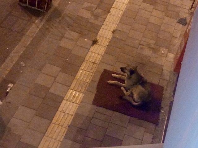Başıboş köpekler mahalleliyi uyutmuyor
