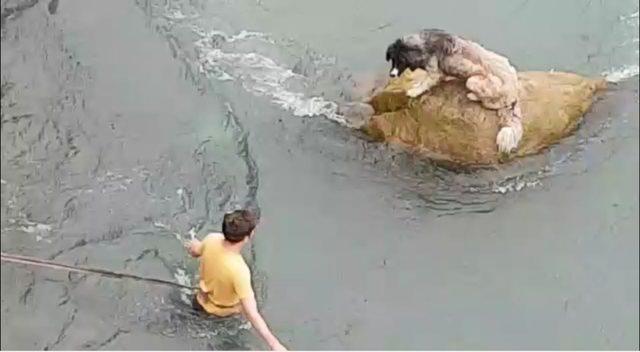 Harşit Çayı içindeki kayada mahsur kalan köpeği vatandaşlar böyle kurtardı