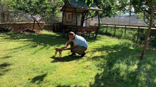 Yavru dağ keçisi, vali konağında koruma altına alındı