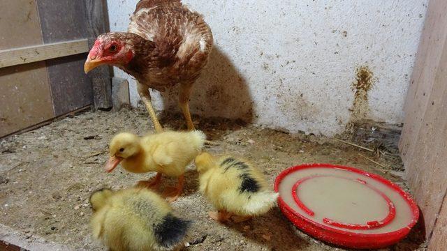 Tavuk, ördek yavrularına annelik yapıyor