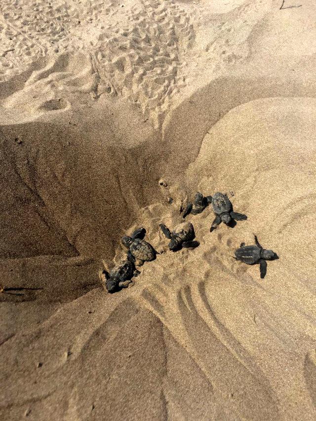 Gönüllü öğrenciler, caretta carettaları denizle buluşturdu