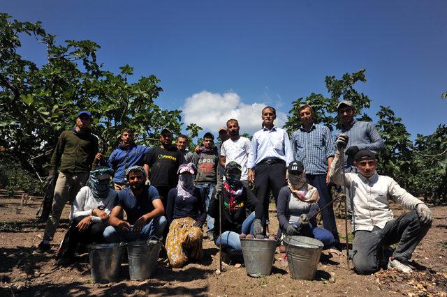Köyün nüfusu, incir hasadında 3 katına çıkıyor