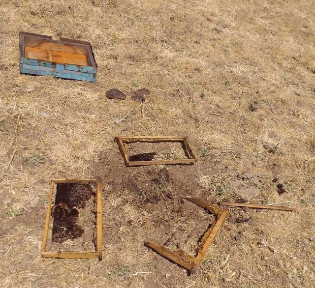 Bingöl'de ödüllü arıcının bal kovanlarına ayılar saldırdı