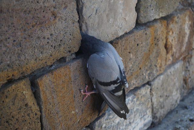 Kervansarayın duvarına sıkışan güvercini itfaiye kurtardı