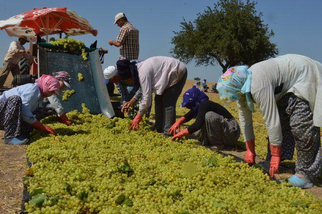 Manisa Ovası üzüm sergisine döndü
