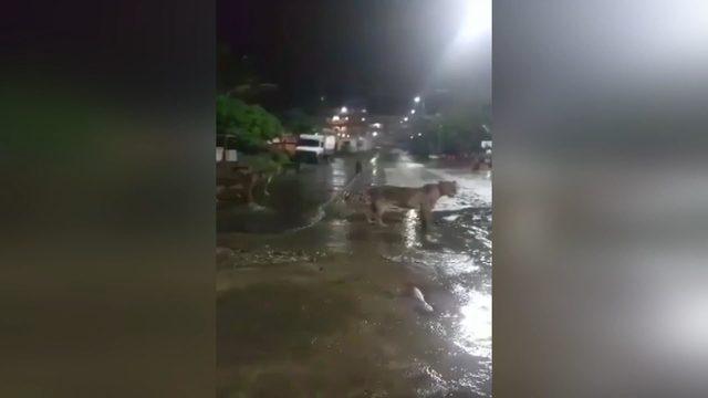 Hindistan'da barınaklarını su basan aslanlar sokağa indi