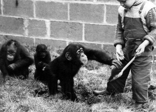 İnsanın taklit yeteneği şempanzelerden çok daha fazla