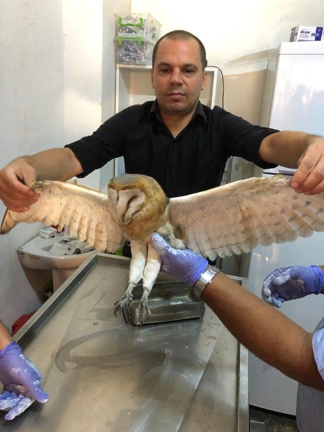 Avcı kurbanı Peçeli Baykuş'un ayakları alçıya alındı
