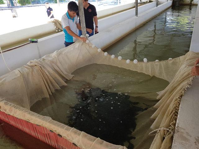 Türkiye'nin ilk kitlesel üretim yayın balıkları göllere bırakılıyor