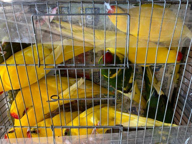 Mahmutbey gişelerde otomobil bagajında 45 papağan ele geçirildi