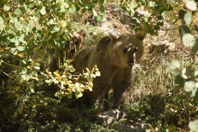 Yavru ayılar, piknikçilerin ilgi odağı