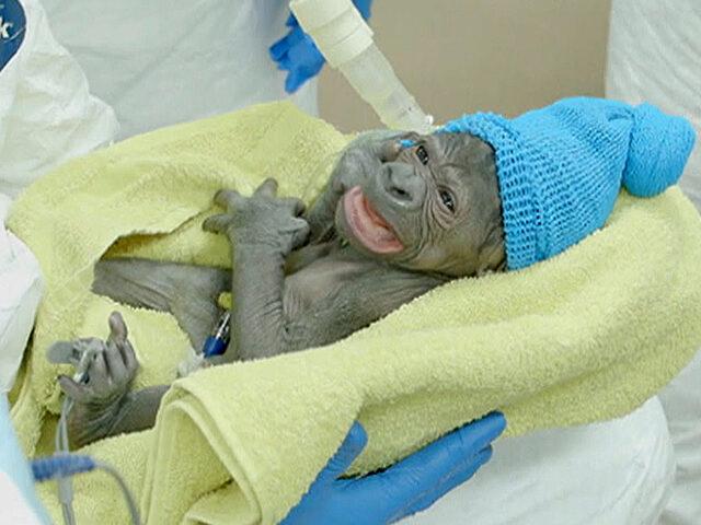 Gözlerimizi dolduran görüntü: Bebek gorilin inanılmaz doğum hikayesi