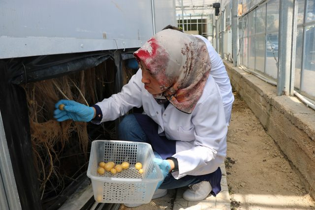 Topraksız patates üretiminde verim arttı