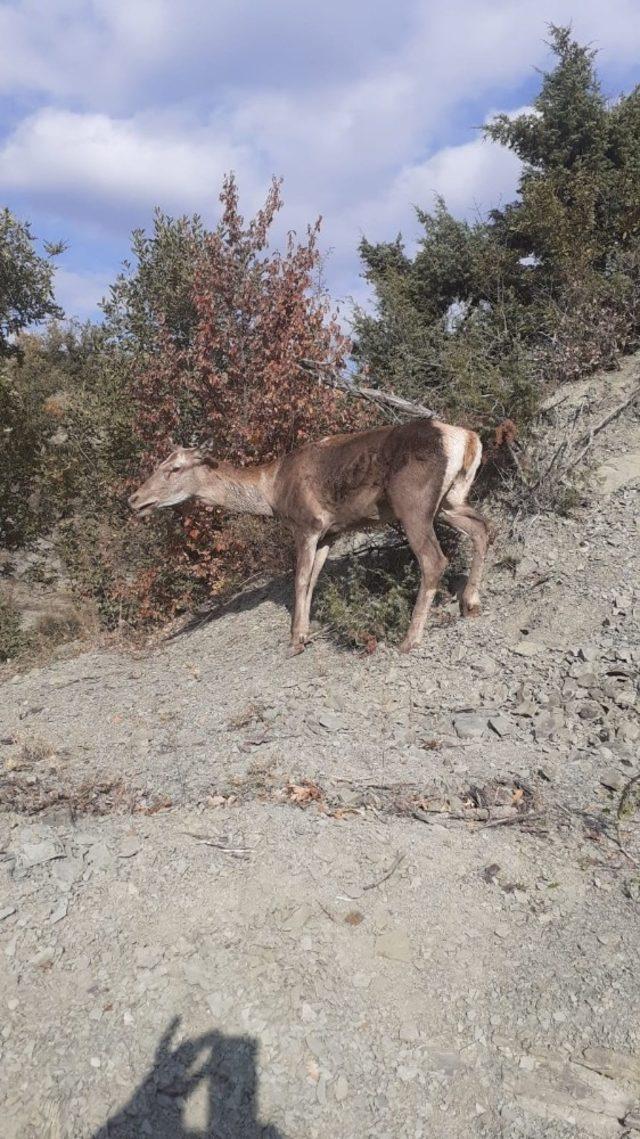 Yaralı geyik koruma altına alındı