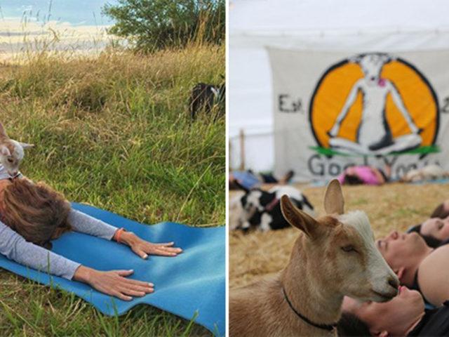 Dünyanın  en son ve en tatlı trendi: Keçi Yogası!