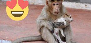 Bulduğu yavru köpeğe kendi evladı gibi bakan maymun kalbinizi fethedecek