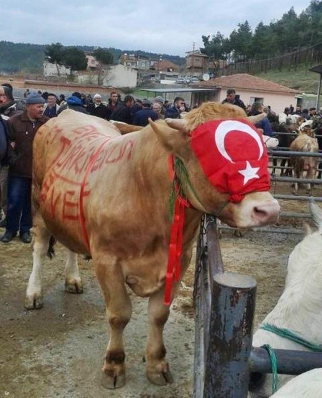 Sinopta Bir Inek Referandum Reklamıyla Satışa çıkarıldı Son