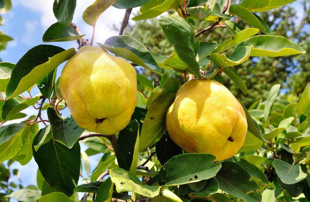Soğuk kış aylarının meyvesi ayva...