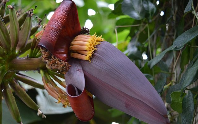 Adeta Doğal Eczane Muz çiçeğindeki şaşırtıcı Sağlık Faydaları