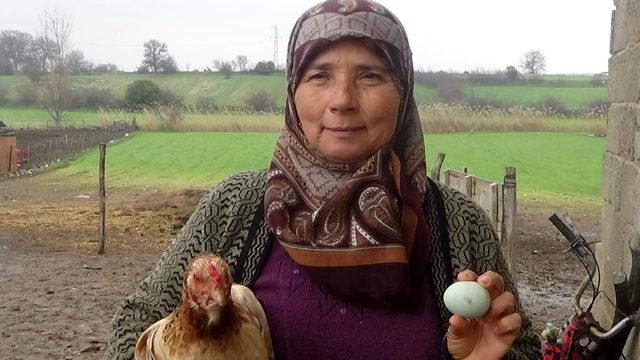 Hediye tavuğun mavi yumurtası geçim kaynağı oldu