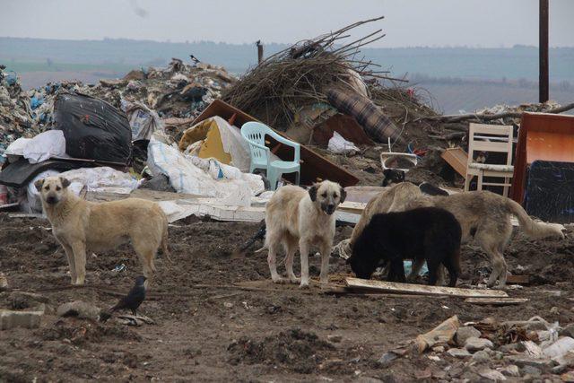 Edirne'de 500 köpek kayboldu iddiası