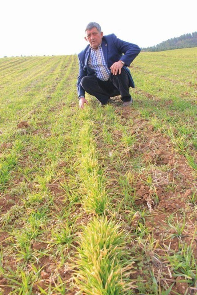 Buğdaylar kuraklıktan sararmaya başladı