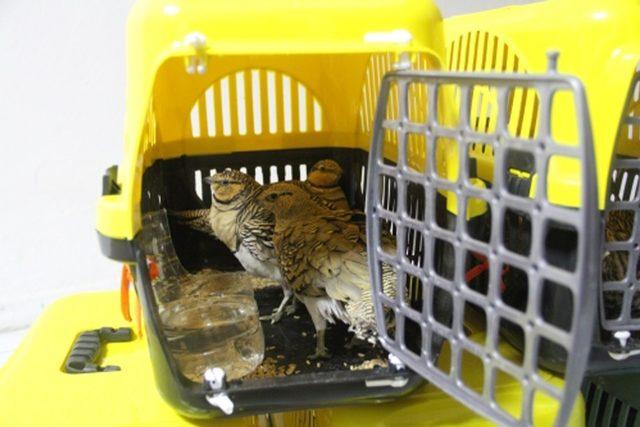Bağırtlak kuşu kaçakçılığından gözaltına alındı