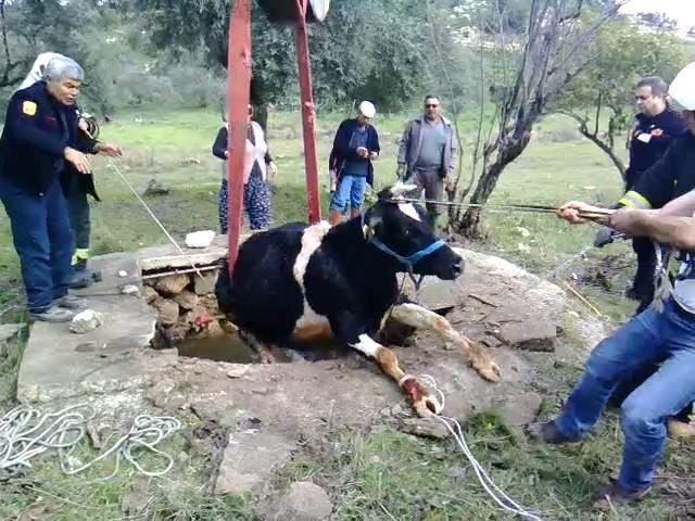 Arazide otlayan inek su kuyusuna düştü