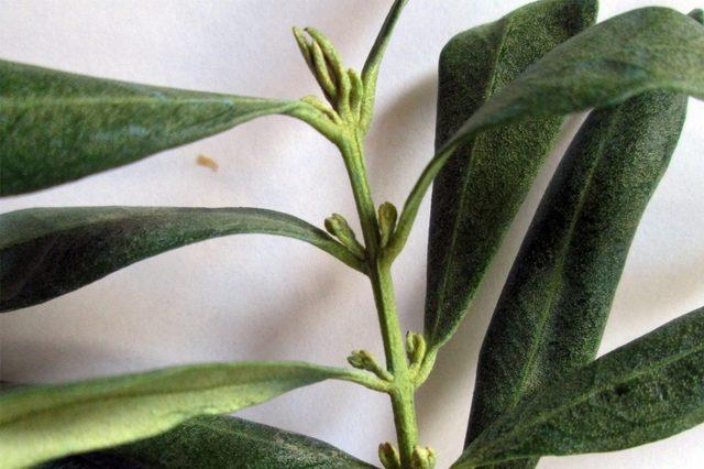 Aydınlı zeytin üreticileri halkalı leke hastalığına karşı uyarıldı