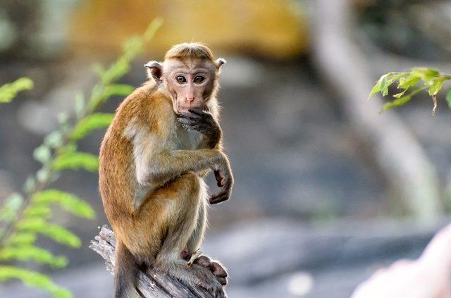 Olmaz Olsun Dedirten Gelenek Canlı Maymun Beyni Yemek