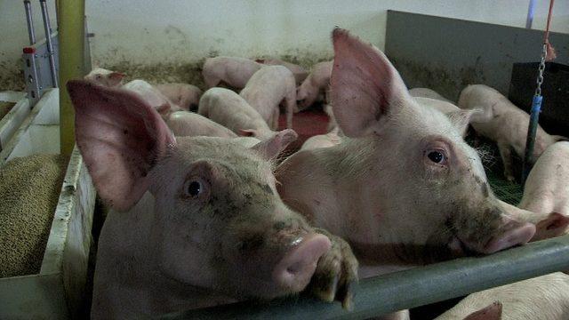 Çin domuz ve domuz ürünleri piyasasında çok büyük bir tüketici