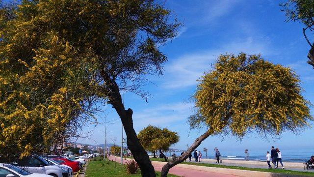 Atakum sahilinde mimoza güzelliği