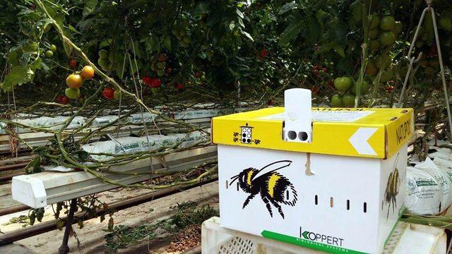 Manisa'dan Rusya'ya domates ihracatı başladı