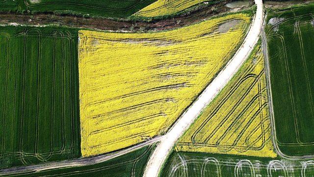 Kanola tarlaları, Trakya'yı sarıya boyadı