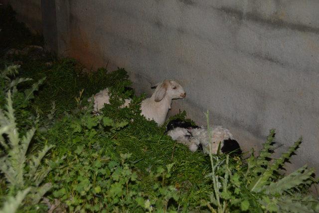 Sokak köpekleri, 4 oğlağı telef etti