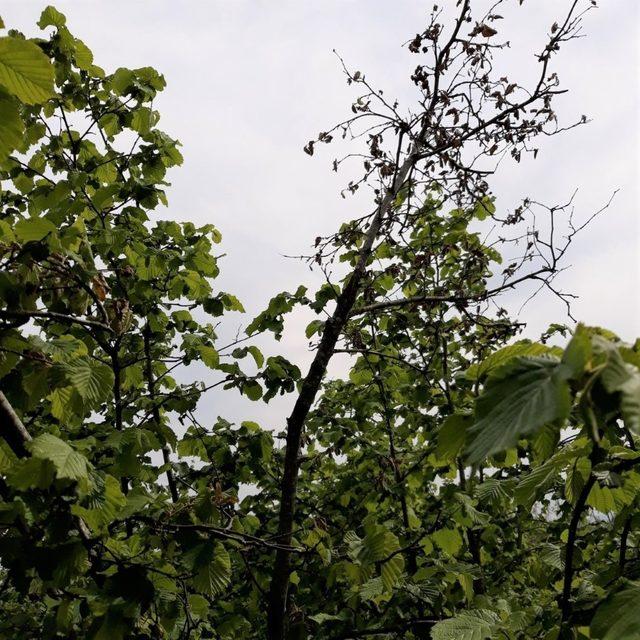 """Fındık bahçelerindeki yeni tehlikenin ne olduğu açıklandı: """"Bakteriyel Yanıklık Hastalığı"""""""