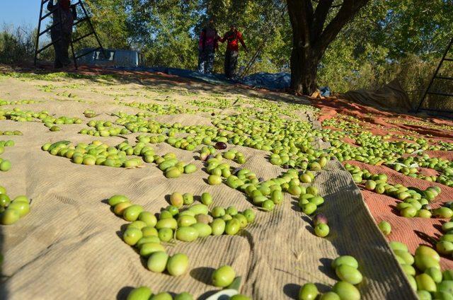 Sofralık zeytin ihracatında yüzde 14'lük artış
