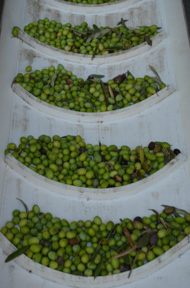 Zeytin ihracatı yüzde 14 artı