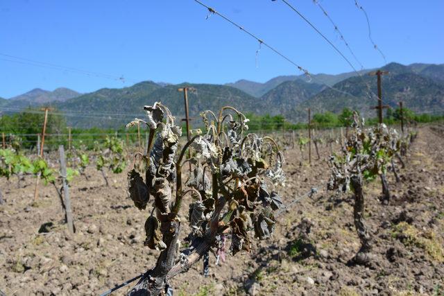 Erbaa'da üzüm bağlarını don vurdu