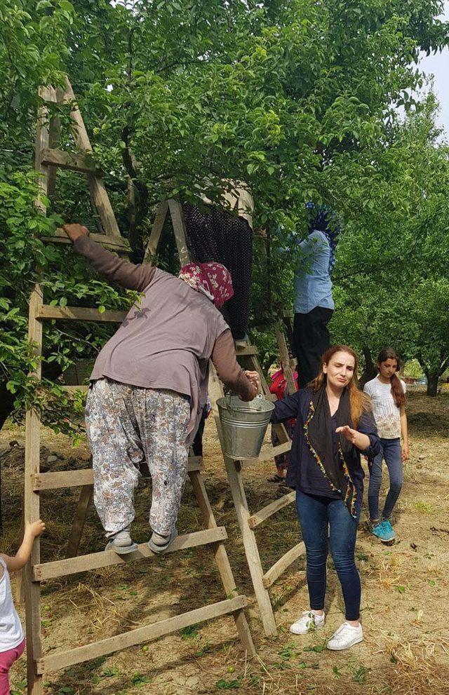 İYİ Partili Yaşır, tarım işçileriyle erik topladı