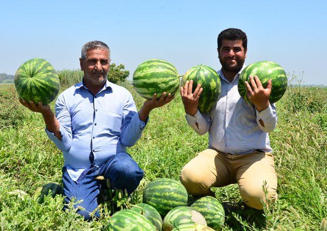 Adana'nın turfanda karpuzu piyasaya çıktı