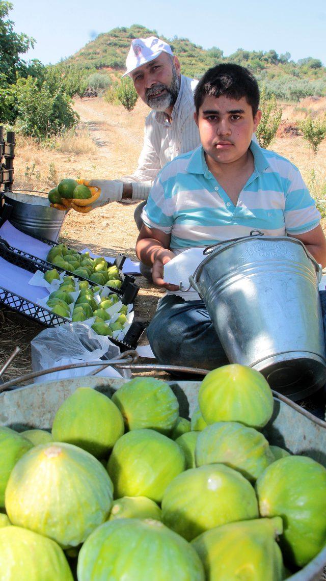 Yediveren incirinde ilk hasat sevinci