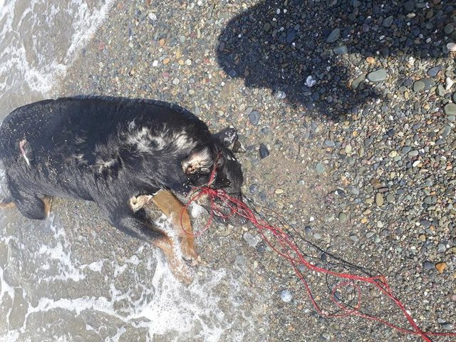 Sahilde, boğazı iple bağlanmış köpek ölüsü bulundu