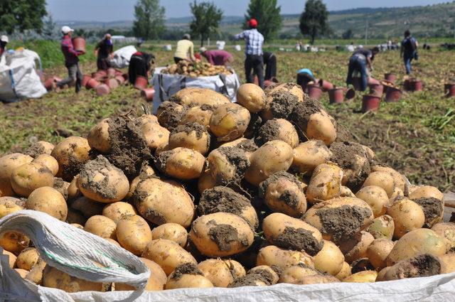 İnegöl'de hasat başladı, patates tarlada 2 lira