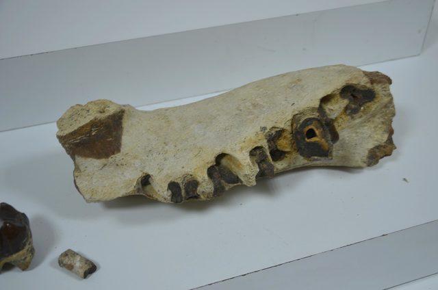 Eve yapılan operasyonda dinazora ait çene kemiği fosili ele geçirildi