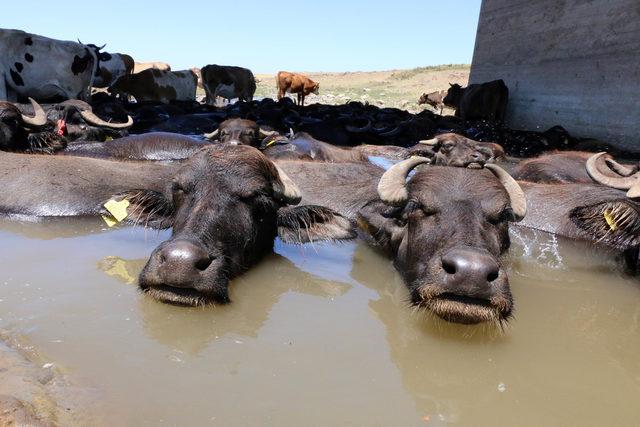 49 derece sıcaktan etkilenen hayvanlar sudan çıkmıyor