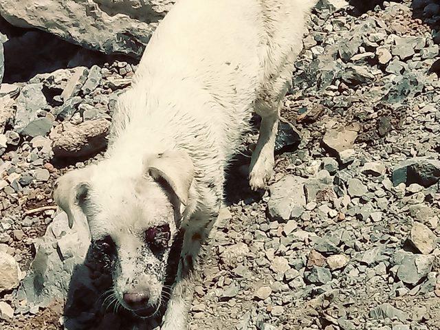 Hakkari'de köpeğin gözlerini oyup, Zap kenarına terk ettiler