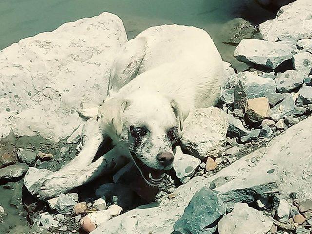 Valilikten gözleri oyulmuş bulunan köpekle ilgili açıklama